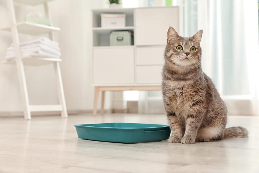Tentang Kotak Kotoran Kucing dan Pertimbangan Kesehatannya